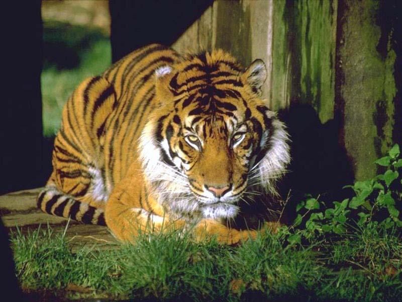 Фотографии тигров и тигрят