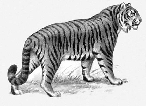 Картинка уссурийский тигр